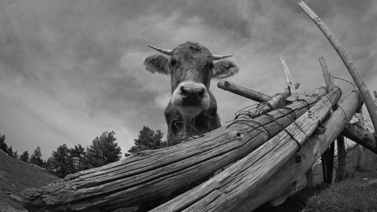 Vicenç Paltré - Cow grazing